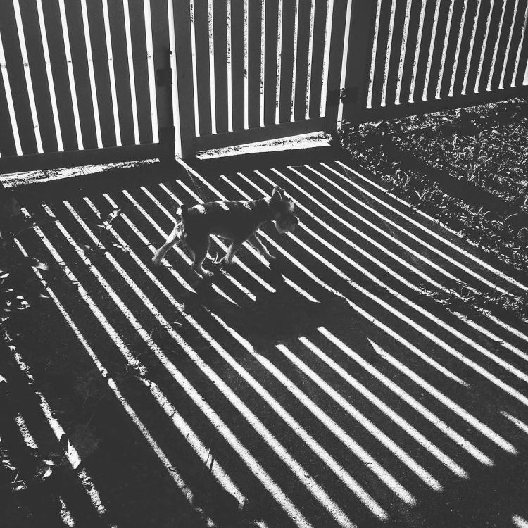 shadow-puppy--missytheschnauzer-schnauzersofinstagram-shadows-boystownliving-shadowplay-lines-bnw_28673829331_o.jpg