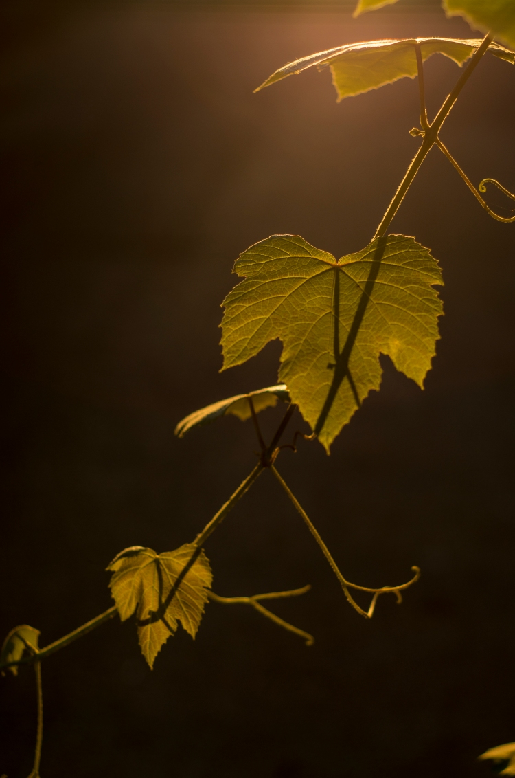 grape-leaves_9670426277_o.jpg