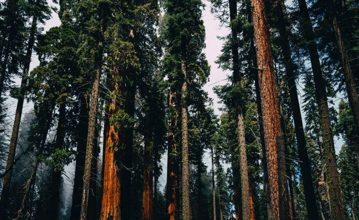 Planting Sequoias